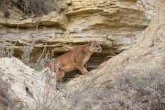 Mountain lion`s den Stock Images