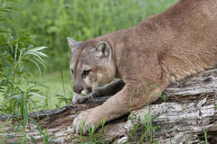 Mountain Lion Sharpening His Claws Royalty Free Stock Photos