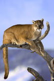 Mountain lion is sitting on deadwood and looking camera. Stock Images