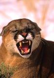 Mountain Lion Snarling. A mountain lion snarling straight into the camera Royalty Free Stock Photo
