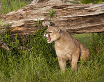 Mountain Lion Snarling Royalty Free Stock Images