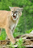 Mountain Lion snarls showing his teeth. Royalty Free Stock Photography