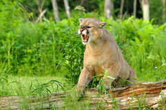 Mountain Lion snarls showing his teeth. Mountain Lion steps up on a fallen log Stock Photos