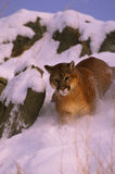 Mountain Lion in Snow. A mountain lion running through deep snow Royalty Free Stock Images