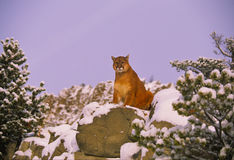 Mountain Lion on Snowy Rock. A female mountain lion crouching on a rock in a wintry scene Stock Photography