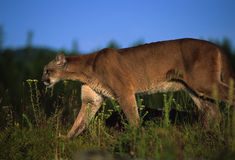 Mountain Lion Stalking Prey. A mountain lion stalking prey through grass Royalty Free Stock Images