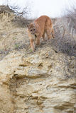 Mountain lion stalking on prey. In mountain canyon Royalty Free Stock Image