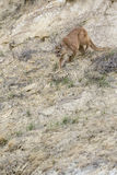 Mountain lion stalking prey. On canyon ridge Royalty Free Stock Photos