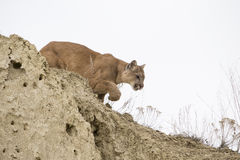Mountain lion stalking towards prey Stock Images