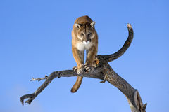 Mountain lion is standing on deadwood and looking camera angrily. Royalty Free Stock Images