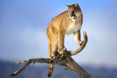 Mountain lion is standing on deadwood and roaring. Royalty Free Stock Photography