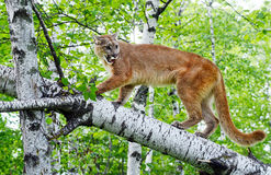 Mountain Lion stands on a fallen log. Stock Photography