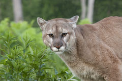 Mountain Lion Stare Royalty Free Stock Photo