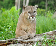 Mountain Lion stares at attention. Stock Photos