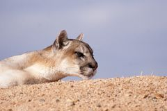 Mountain lion stares off to the side royalty free stock image