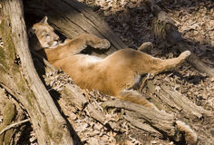 Mountain lion takes a nap Royalty Free Stock Images