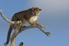 Mountain Lion in a tree Royalty Free Stock Photo