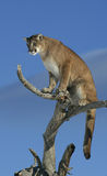 Mountain Lion in a tree. Adult Male Mountain Lion in a tree Royalty Free Stock Images