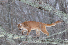 Mountain lion in tree stock images
