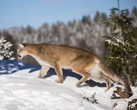 Mountain Lion in the Snow. Mountain Lion at Triple D Game Farm Kalispell, Montana, USA.  She appears to be stalking her prey Royalty Free Stock Image