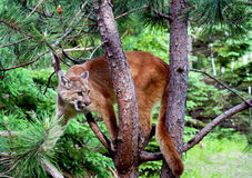 Mountain Lion up a tree. Mountain Lion in the branches of a tree Stock Photography