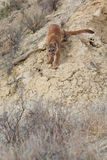 Mountain lion walking down steep ravine Royalty Free Stock Photography