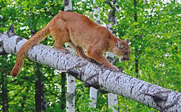 Mountain Lion walking on a fallen log. Royalty Free Stock Images