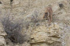 Mountain lion walking on ledge Stock Photography