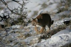 Mountain Lion walking in sagevrush Stock Photos