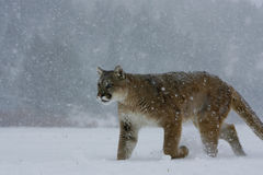 Mountain Lion walking in snow. Male Mountain Lion walking in snow storm in Montana Royalty Free Stock Photo