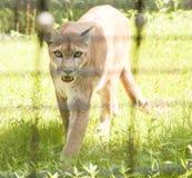 Mountain Lion Walking toward Camera Stock Photo