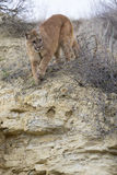 Mountain lion walking towards prey. On ridge Stock Photo