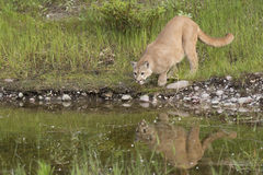 Mountain Lion by water's edge Stock Photo