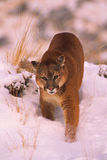 Mountain Lion in Winter Royalty Free Stock Photo