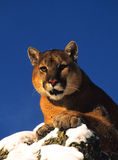 Mountain Lion in Winter Stock Images