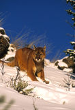 Mountain Lion in Winter Royalty Free Stock Photography