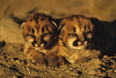 Mountain Lion Young. Two cute mountain lion kittens cuddle together Royalty Free Stock Photo