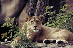 Mountain Lioness. Zoo, savage lioness Royalty Free Stock Photo