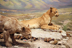 Mountain Lions Stock Image
