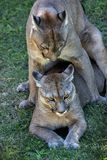 Mountain lions copulating. A pair of mountain lions copulating Royalty Free Stock Image