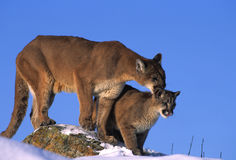 Mountain Lions on Rock. A baby mountain lion and its mother  standing proudly on a rock Royalty Free Stock Image