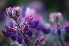 Mountain lupine Stock Photos