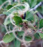 Mountain mahogany. A mountain mahogany plant in foothills near Denver, Colorado Royalty Free Stock Photos