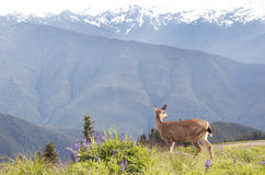 Mountain Majesty In The Northwest's Olympic Forest & Deer Royalty Free Stock Photos