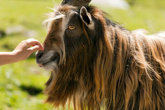 Mountain Male Goat and Human Hand Stock Photography