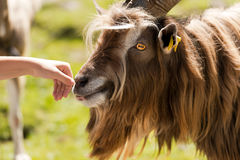 Mountain Male Goat and Human Hand Stock Photo
