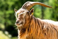 Mountain Male Goat - Italian Alps Royalty Free Stock Photos
