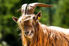 Mountain Male Goat - Italian Alps. Brown and white billy goat with long fur and horns looking into the camera. Italian Alps Stock Photos