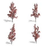 Mountain_maple_fall Royalty Free Stock Images