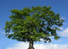 Mountain maple tree and blue sky. With clouds Royalty Free Stock Image
